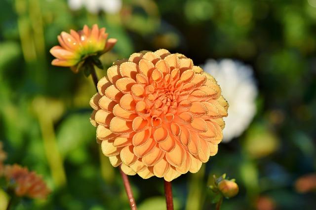 oranžová jiřina