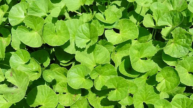 léčivá rostlina.jpg